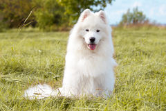 Samoyedpuppy Royalty-vrije Stock Foto's