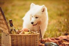 Samoyedpuppy die perzik op bruine vlakte eten dichtbij picknickmand Stock Afbeeldingen