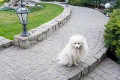 Samoyeds dog sit outdoors on sunny summer day, cute white spitz dog on green nature background, copy space stock photo