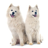 Samoyeds Stock Photography