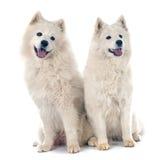 Samoyeds Stock Photography