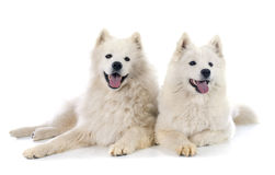 Samoyeds Royalty Free Stock Photography