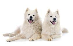 Samoyeds Royalty Free Stock Photography