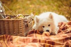Samoyedwelpe, der Pfirsich auf braunem einfachem nahem Picknickkorb isst Lizenzfreie Stockfotos