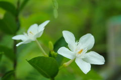 Sampaguita flowers Stock Photos