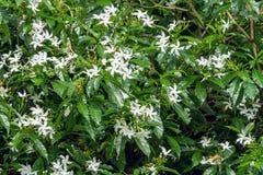 Sampaguita jaśminu kwiaty Zdjęcie Royalty Free