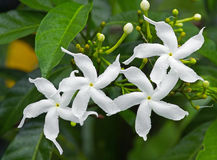 Sampaguita Jasmine Stock Photography