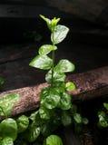 Sampaguita roślina Zdjęcia Stock