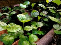 Sampaguita roślina zdjęcie stock