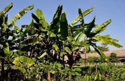 Sampan Thailand: Dunge av bananträd Arkivfoto