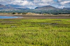 Samphire-Anlage, die in Nord-Wales wächst lizenzfreies stockfoto