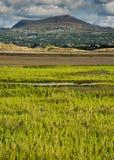 Samphire-Anlage, die in Nord-Wales wächst stockbild