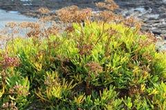 Samphire on the coast Royalty Free Stock Photos