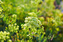 Samphire Crithmum maritimum plant Spain Stock Images
