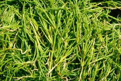 Samphire Stock Images