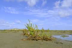 Samphire growing in sand Royalty Free Stock Photography