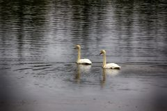 Migrating Whooping Swans stopped for rest and feeding on river Royalty Free Stock Photo