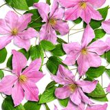 Sample_pink_clematis_25x25cm Photographie stock