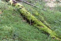 Samt bedeckte Logonwaldboden stockfotos