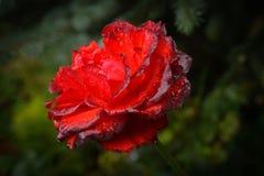 Samt Rose After Rain Lizenzfreie Stockfotos