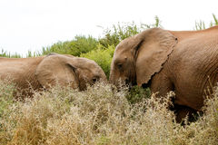 Samtal - afrikanBush elefant Royaltyfria Foton