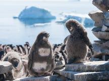 Samtal för två ungt pingvin Royaltyfria Bilder