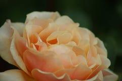 Samtartige Blumenblätter Dame, berauschender Geruch - stieg stockbild