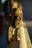 Samui-Tempel-Katze Stockbilder