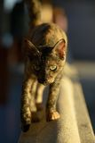 Samui Temple Cat Stock Images