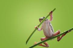 Samurai Frog Royalty Free Stock Photography