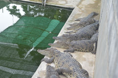 Samutprakan krokodillantgård royaltyfri foto