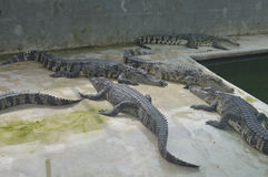 Samutprakan krokodillantgård arkivbild
