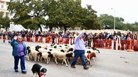 San Antonio, Τέξας ΗΠΑ - 3 Φεβρουαρίου 2018: Πρόβατα κοπαδιών βοήθειας σκυλιών προβάτων sherherd μετά από Alamo φιλμ μικρού μήκους