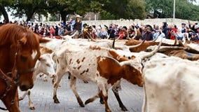 San Antonio, Texas EUA - 3 de fevereiro de 2018: Os vaqueiros em cavalos reunem o gado de Texas Longhorn após o Alamo histórico d video estoque