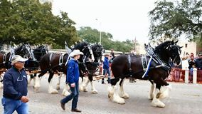 San Antonio, Texas USA - February 3 2018: Clydesdale horses pull stagecoach past the Alamo. San Antonio, Texas USA - February 3 2018: Clydesdale horses pull stock video footage