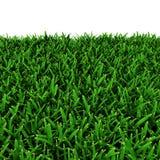 San Augustine Warm Season Grass su bianco illustrazione 3D Immagine Stock Libera da Diritti