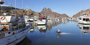 A Pelican Lands in the Old San Carlos Marina, Guaymas, Sonora, M. SAN CARLOS, MEXICO, MARCH 13. The Old San Carlos Marina on March 13, 2018, in Guaymas, Sonora royalty free stock photo