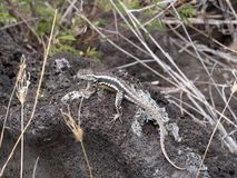 San Cristobal Lava Lizard, Microlophus Bivittatus, Is Heated On Stone, San Cristobal, Galapagos, Ecuador Stock Image