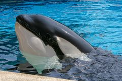 San Diego, CA/USA. June 25, 2007. Killer whales show in Sea Worl stock photo
