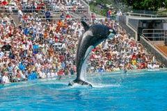 Killer Wale show at Sea World stock photography