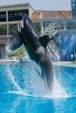 Killer Wale show at Sea World royalty free stock photo
