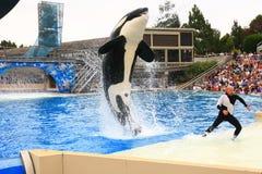 SAN DIEGO, CALIFÓRNIA, EUA - 19 de agosto: mostra do shamu da baleia de assassino Imagem de Stock
