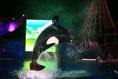 SAN DIEGO, CALIFORNIA, USA - August 19: killer whale shamu show Stock Photos