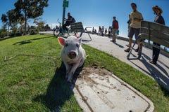 SAN DIEGO, los E.E.U.U. - 14 de noviembre de 2015 - gente que camina un cerdo rosado del bebé en San Diego Harnor Drive Fotografía de archivo libre de regalías