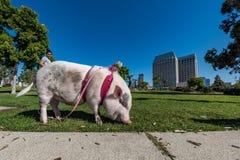 SAN DIEGO, los E.E.U.U. - 14 de noviembre de 2015 - gente que camina un cerdo rosado del bebé en San Diego Harnor Drive Fotos de archivo libres de regalías