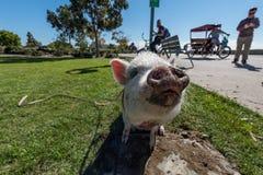 SAN DIEGO, los E.E.U.U. - 14 de noviembre de 2015 - gente que camina un cerdo rosado del bebé en San Diego Harnor Drive Fotografía de archivo
