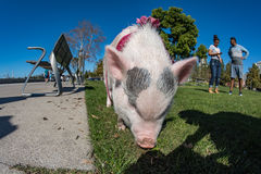 SAN DIEGO, los E.E.U.U. - 14 de noviembre de 2015 - gente que camina un cerdo rosado del bebé en San Diego Harnor Drive Foto de archivo libre de regalías