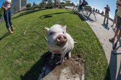 SAN DIEGO, los E.E.U.U. - 14 de noviembre de 2015 - gente que camina un cerdo rosado del bebé en San Diego Harnor Drive Imagenes de archivo
