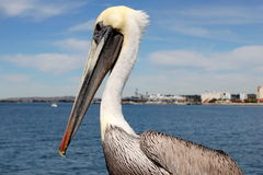 San Diego Pelican royalty free stock image