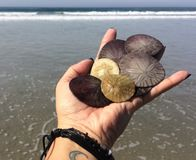 San Diego Sand Dollars royalty free stock photos